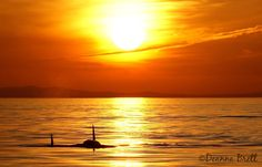 "Orcas in Sunset. via ""Love Sooke"""