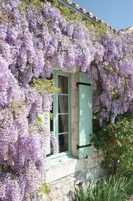 Wysteria and turquoise shutters