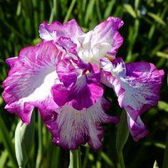Iris ensata Japanese Water Iris #AquaponicsPond