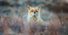 Russian Miner Spends His Breaks Photographing Foxes In The Arctic Circle (Part 2) | Bored Panda
