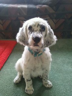 English Setter cutie! Sully!