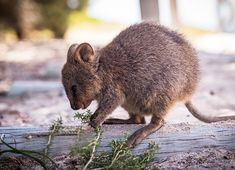 Adorable Bundle Of Joy Happy Animals, Farm Animals, Funny Animals, Cute Animals, Pet Pictures, Australia Animals, Quokka, Animals Of The World, Brown Bear