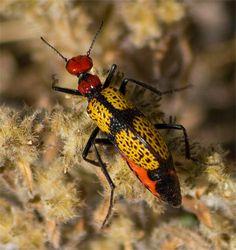 Iron Cross Beetle roaming the Arizona Desert - free to download!