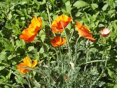 Poppies, Desert Botanical Garden