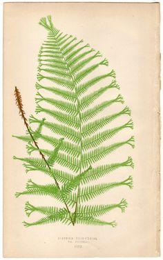 1872 Antique FERN Illustration