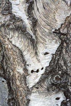 betula pendula 1 graphic