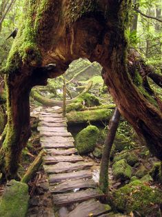 Yakushima Island is covered in dense ancient forest. One tree known as Jhomon Sugi on Yakushima is thought to be up to years old making it the oldest tree in the world. Yakushima, All Nature, Amazing Nature, Pathways, Belle Photo, Garden Bridge, Places To See, Vietnam, Around The Worlds