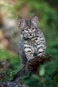Bobcat kitten.