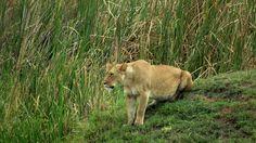 Ela deveria estar relaxada, afinal durante o dia, descansam, mas alguma coisa deixou a leoa arisca e em guarda. Seus filhotes deviam estar por perto.