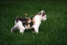 Is a Manx Cat for you?  Read more....