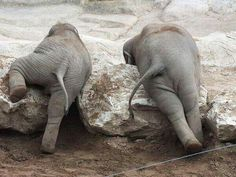 Some days are an uphill battle... Best to have a friend by your side.Such cute little elephant bums!