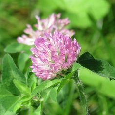 http://fotomacro.tumblr.com/ Copyright © 2016 Foto Macro - All Rights Reserved #nofilter #nature #macro #photography #flower #blossom #bloom #spring #clover #redclover #weed #lawn #yard #wildflower
