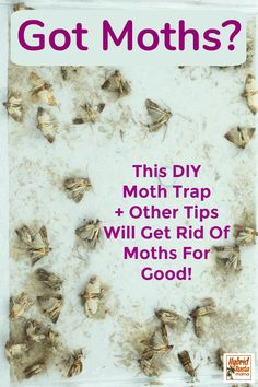Getting rid of moths naturally can be a bit of a challenge. Moths are clever. Learn my secrets on how to get rid of moths for good sans chemicals. Moths In Closet, Moths In House, Moth Repellent, Natural Moth Repellant, Getting Rid Of Moths, Pantry Moths, Diy Pest Control, Bug Control, Get Rid Of Ants