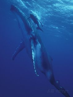Humpback Whale and Calf, Tonga, South Pacific Photographic Print by Amos Nachoum at AllPosters.com