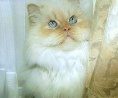 What a pretty cat, and those eyes... SEBASGIEN - Jonny Petros