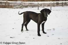 Vulpine Great Danes - Past Puppies - Home of Champion bred American and European lined Great Danes. Black Great Dane Puppy, Black Great Danes, Dane Puppies, Dogs, Great Dane Funny, Doberman, Snuggles, Egypt, Dog Lovers