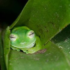 """Emerald Glass Frog Sleeping in a Bromilead Plant. Animals And Pets, Baby Animals, Funny Animals, Cute Animals, Funny Frogs, Cute Frogs, Beautiful Creatures, Animals Beautiful, Sapo Meme"