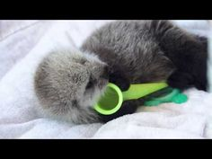 Vancouver Aquarium Takes in Tiny Sea Otter Pup! — The Daily Otter