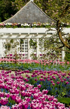 Tulips and spring-flowering trees with beautiful summer house and arbor-Butchart Gardens