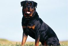 Rottweiler is an ideal guard dog. Rottweiler has the strongest bite amongst dog breeds with 328 pounds of bite pressure. A good protection dog breed. Raza Rottweiler, Rottweiler Dog Breed, German Rottweiler, Rottweiler Facts, Rottweiler Training, Training Dogs, Doberman, Dog Photos, Dog Pictures