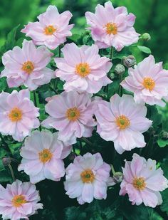 Buy Anemone hybrida Queen Charlotte Online | Hayloft Plants