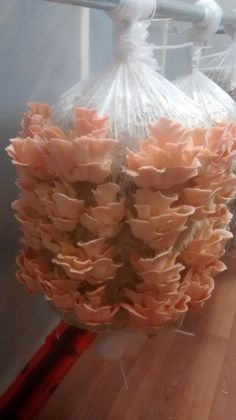 Pink Oyster mushrooms on straw