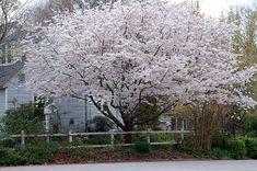 cherry blossom trees in front yard ile ilgili görsel sonucu White Blossom Tree, Blossom Trees, Blossoms, Yoshino Cherry Tree, Trees For Front Yard, Flowering Cherry Tree, Fast Growing Trees, Unique Trees, Prunus