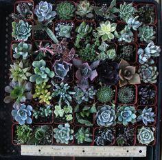 """20 Gorgeous Succulents in 2"""" plastic pots $22.99"""