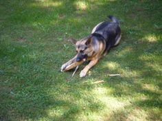 Got that German Shepherd a stick German Shepherds love sticks    :)