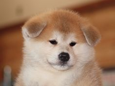 What a Face! Japanese Akita, Japanese Dogs, Cute Puppies, Cute Dogs, Dogs And Puppies, Shiba Inu, Japanese Dog Breeds, Japon Tokyo, Alaska