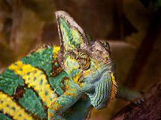 Chameleon: Children's Book of Amazing Photos and Fun Facts about Chameleon Chameleon Care, Veiled Chameleon, Facts For Kids, Fun Facts, Cool Photos, My Photos, Write Online, Unusual Things, Coloring For Kids