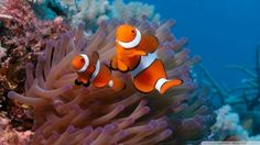 Download Clownfish And Sea Anemone wallpaper  Download Clownfish And Sea Anemone wallpaper