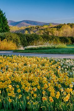 For anyone who loves spring, the cheerful beauty of millions of daffodils blooming on North Georgia hillsides at Gibbs Gardens is an absolute must-see.