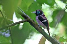 Viasyan Broadbill (Eurylaimus samarensis), endemic to Philippines, photo by Rob Hutchinson.