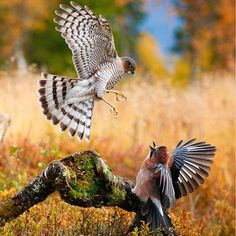 Raptors – or birds of prey – are the undisputed masters of the skies, but can you tell a merlin from a hobby or a goshawk from a sparrowhawk? Birds Of Prey Uk, Common Buzzard, Animals And Pets, Cute Animals, Different Types Of Animals, Sparrowhawk, Peregrine Falcon, Raptors, Endangered Species