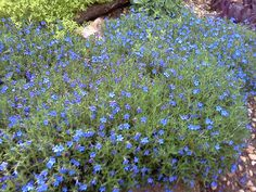Blue Lithodora is a relatively low maintenance perennial. It is great for hanging over rocks or walls. It brooms through spring and early summer.