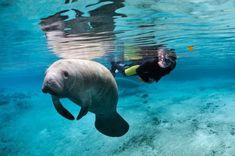 How to swim with Florida's manatees | Matador Network | Bloglovin'