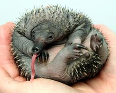 This Echidna puggle represents a breeding milestone at the Perth Zoo!  Read more at zooborns.com