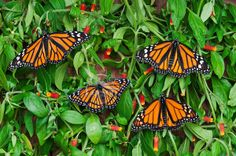 Monarch (r.) (Danaus plexippus) & Viceroy (Limenitis archippus) butterflies basking on candy corn vines (Manettia inflata), summer,North Am...