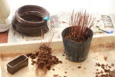 アメリカフウの超ミニ盆栽 |超ミニ盆栽のブログ