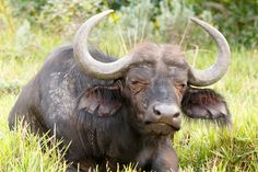 Sleeptime - African Buffalo Syncerus caffer Sleeptime - The African buffalo or Cape buffalo is a large African bovine. It is not closely related to the slightly larger wild water buffalo of Asia and its ancestry remains unclear.
