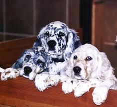English setter puppies!!