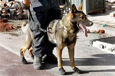 Rescue boots for a hardworking police dog helping rescue work in Christchurch.