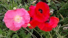 Diese wunderschönen, zarten Blüten solltest du genießen, denn sie blühen nur wenige Tage!