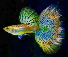 Guppies are a very easy-to-breed fish species. They also adapt quickly to their environment and this is what makes them perfect for beginner aquarists. Here is Different Types of Guppies In The World Tropical Freshwater Fish, Freshwater Aquarium Fish, Tropical Fish, Pretty Fish, Beautiful Fish, Beautiful Pictures, Guppy, Betta Aquarium, Fish Wallpaper