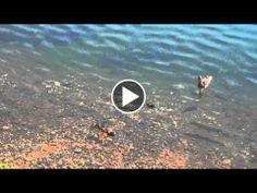 Cá ăn mất vịt con, vịt mẹ cố gắng trong vô vọng - 166BET Việt Nam
