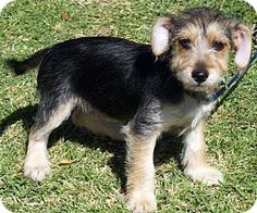 Buena Park, CA - Yorkie, Yorkshire Terrier/Dachshund Mix. Meet Burnadette, a puppy for adoption. http://www.adoptapet.com/pet/13271591-buena-park-california-yorkie-yorkshire-terrier-mix