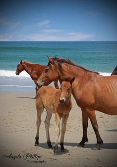 The Wild Horses of The Outer Banks and Shackleford Banks are a must-see!  I have been privileged to see them my whole life...