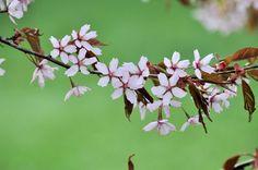 Kirsikankukkahullaannus - Roihuvuoressa vietettiin helatorstaina Hanamia, eli kirsikankukkajuhlaa. Tässä juttua juhlista ja noista kukista yleensäkin…