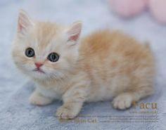 Munchkin cat1